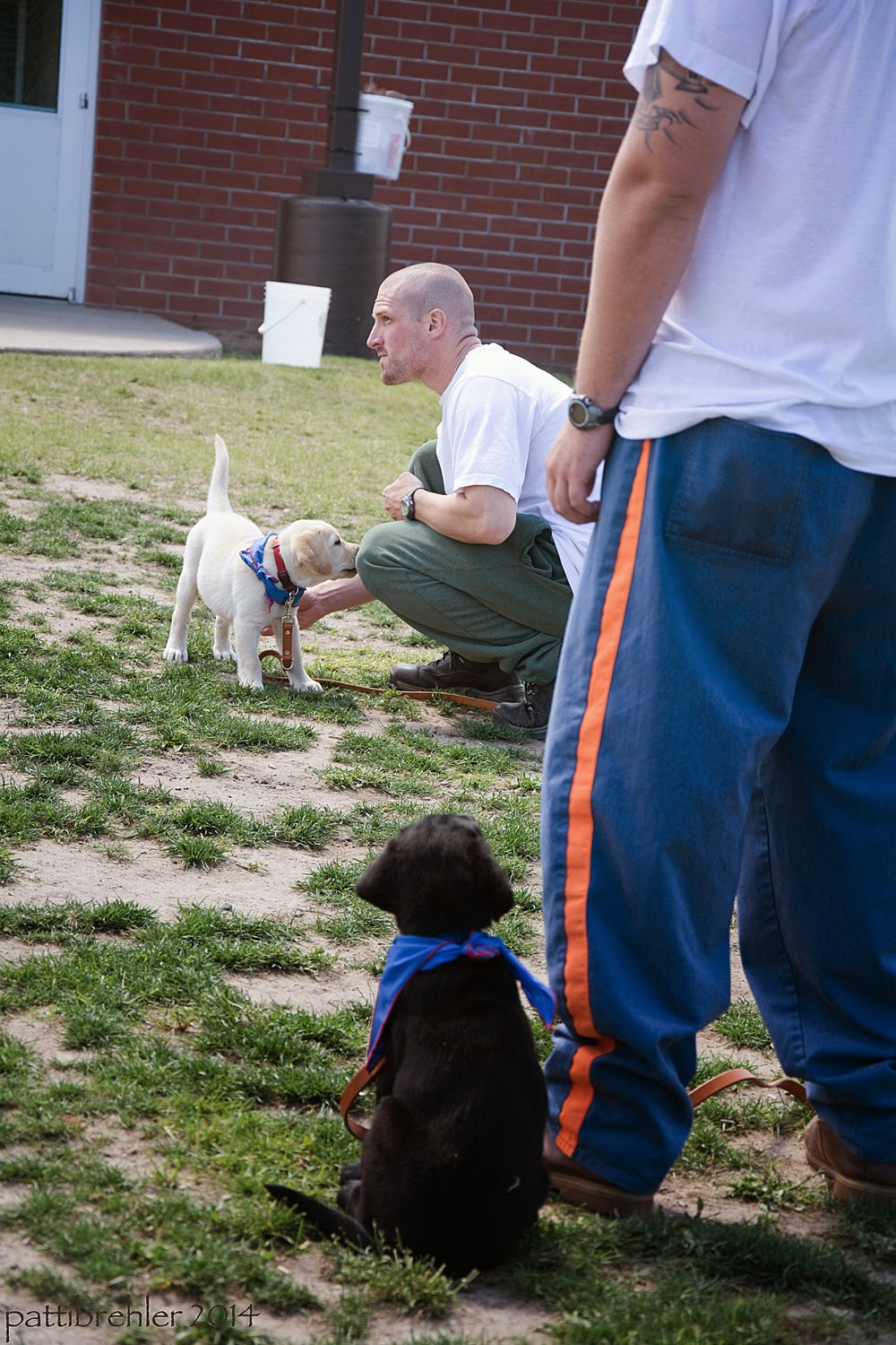 A man dressed in the blue prison pants and a white t-shirt is standing half out of view on the right side of the picture; sitting at his left side is a small black lab with his back to the camera. The puppy is looking up at the man. Beyond them is another man squatting down, wearing green sweatpants and a white t-shirt, he is facing to the left and there is a small yellow lab puppy standing in front of him looking at him. There is a brick building in the background.