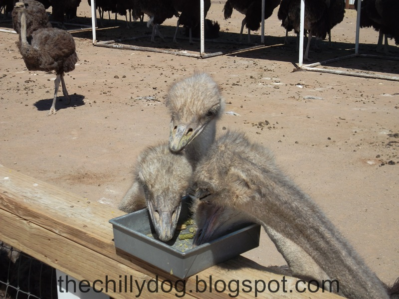 Smiling ostrich with braces