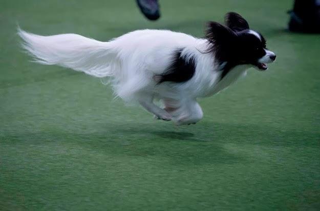Westminster dog show 5