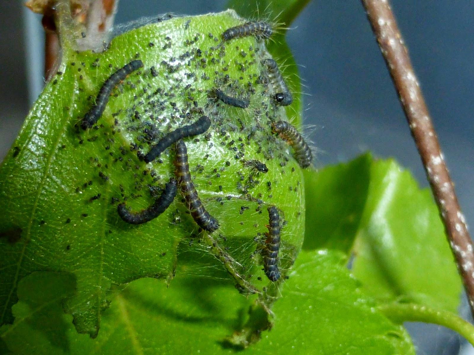 Eriogaster lanestris L2 caterpillars