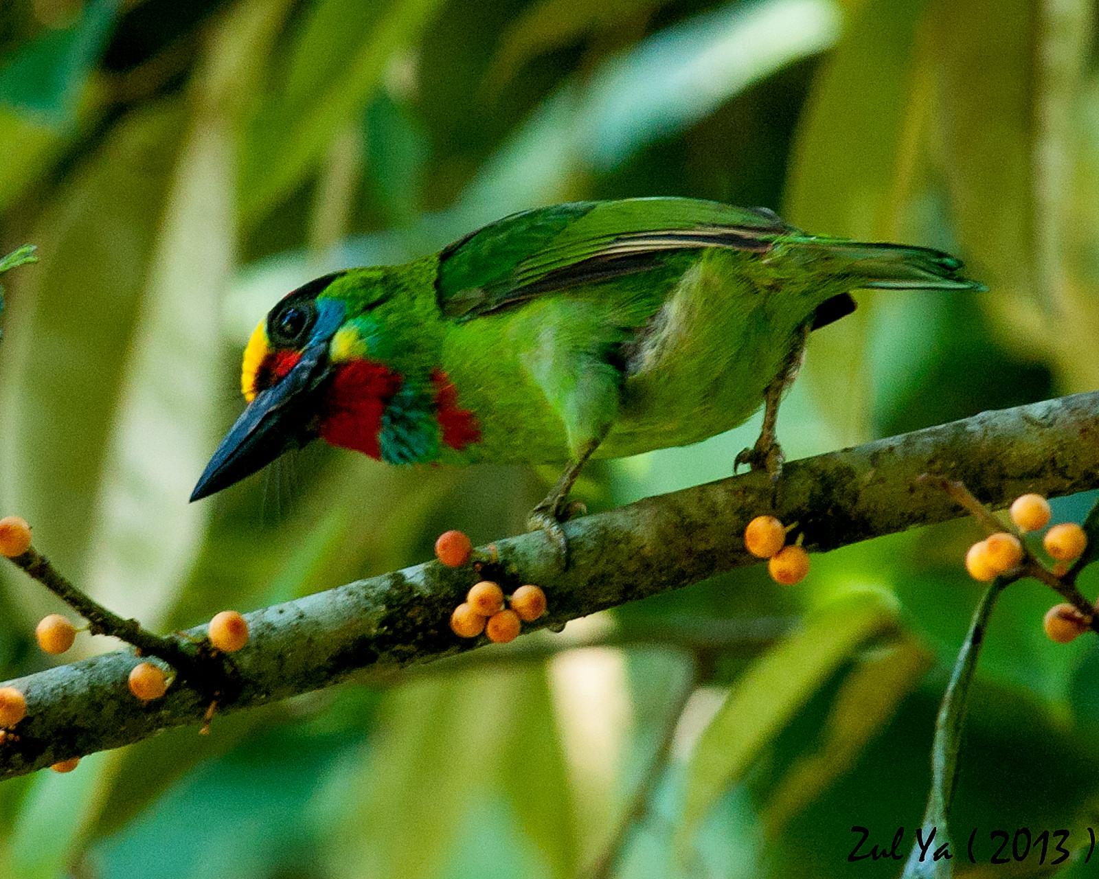 Xc >> Zul Ya - Birds of Peninsular Malaysia: Colourful Barbets