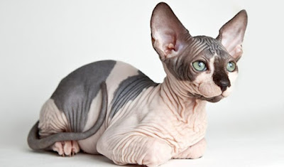 Mèo Sphynx