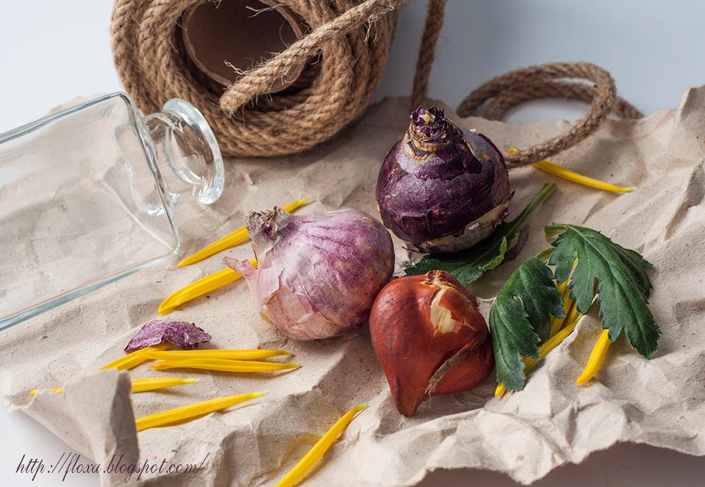 гиацинт подготовка к посадке, первоцветы, луковицы гиацинта и тюльпана