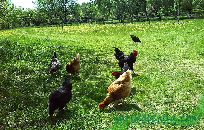 gallinas en el tietar