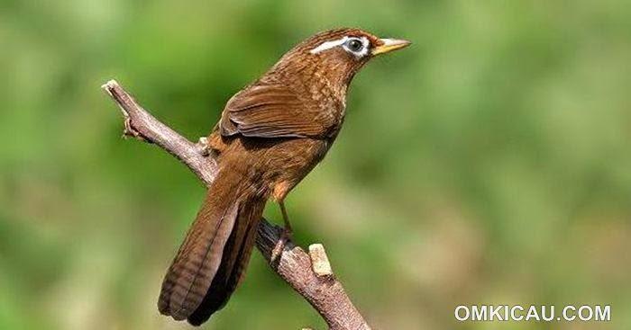Foto Burung Hwambie Terbaik