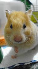 Minha hamster Mel