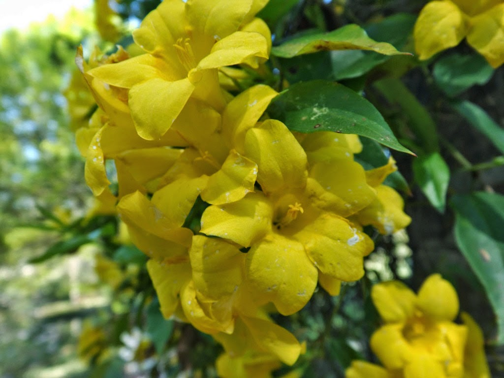 Mariettes back to basics our carolina jasmine one of the most beautiful vines is the carolina jasmine gelsemium sempervirens with its fragrant yellow flowers izmirmasajfo