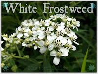 http://www.bluetoothhollow.com/2015/10/wednesdays-wildflower-white-frostweed.html