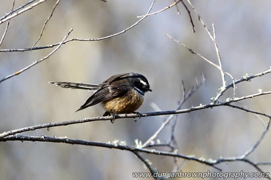 A less-than-chirpy fantail near the Tukituki River photograph