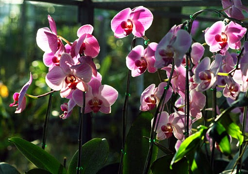 Pink phalaenopsis orchids growing