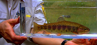 golden_trout