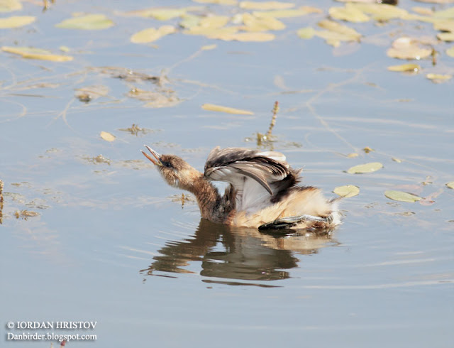 Little Grebe photography in Bulgaria