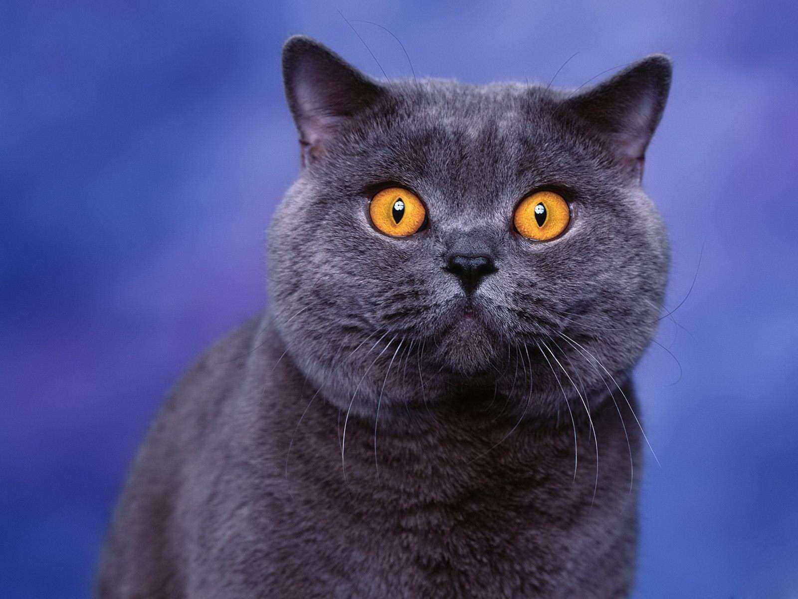 wallpapers yellow eyes cat wallpapers