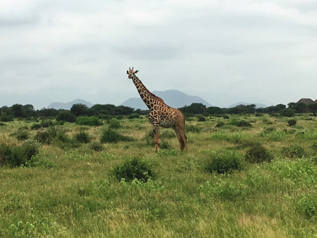A giraffe in Tsavo East, Kenya