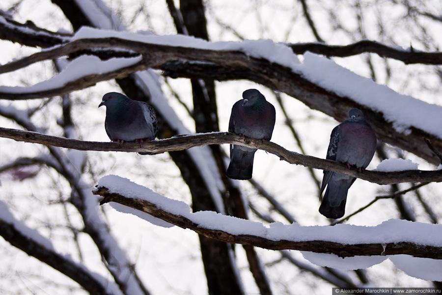 Три голубя на дереве
