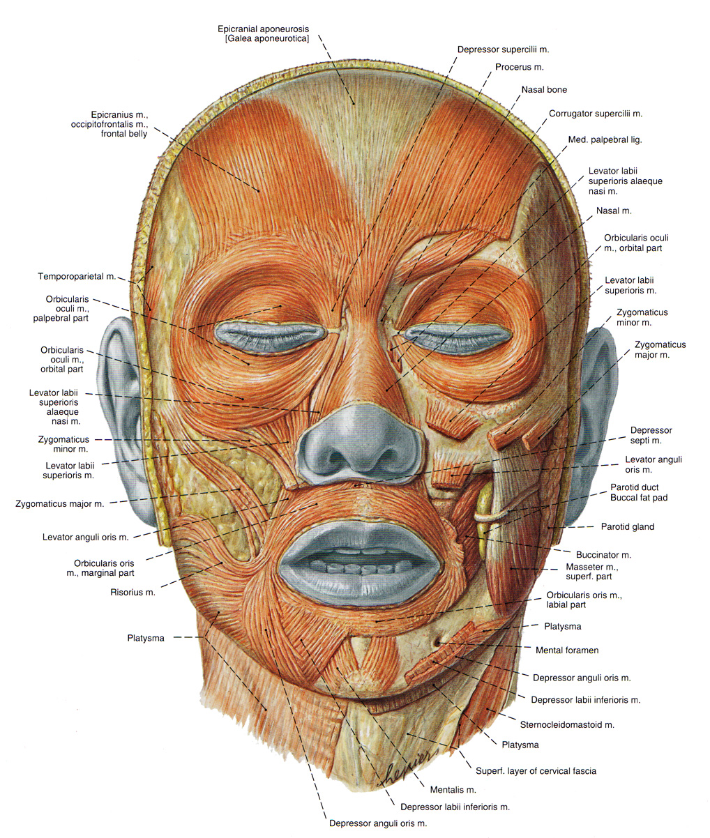 artistic anatomy: levator labii superioris and corrugator muscles, Human Body