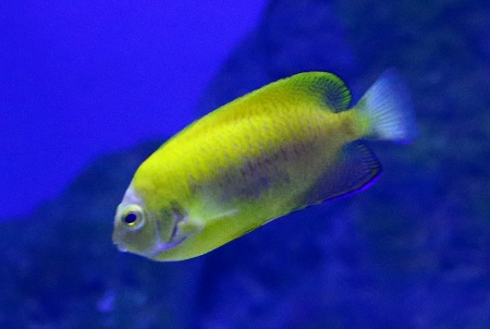 HYBRID ANGELFISH