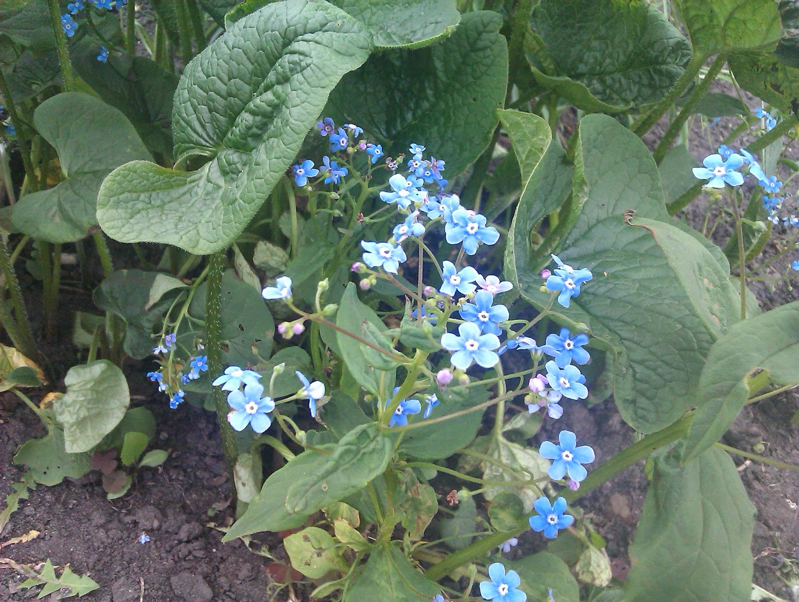 Многолетние цветы садовые