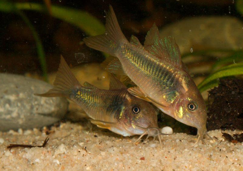 Fish Pictures: Bronze corydoras - Corydoras aeneus