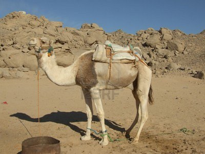 mammalia,animalia,cattle,camel,gif camel,gif ass,wilds,riding,dangerso,funny camel