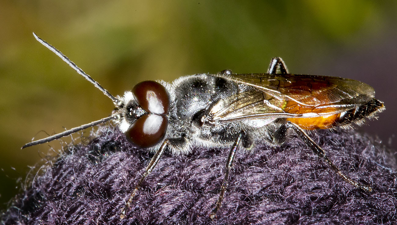 Crabronid wasp, Astata boops.  Male.  St Paul's Cray Common, 30 July 2014.