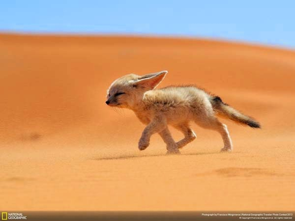 1.) A fennec fox struggling through the desert - 12 Photos That Prove Nature is Awesome