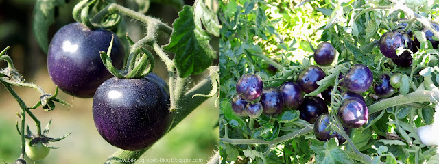 niebieski pomidor