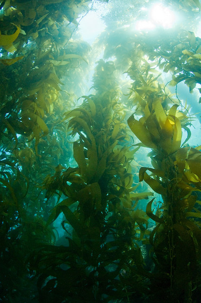 Giant Kelp Forest in Catalina Island (Source: Underwater Photography ...