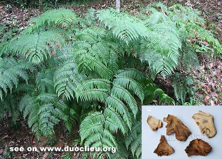 Cibotium barometz (L.) J. Sm.