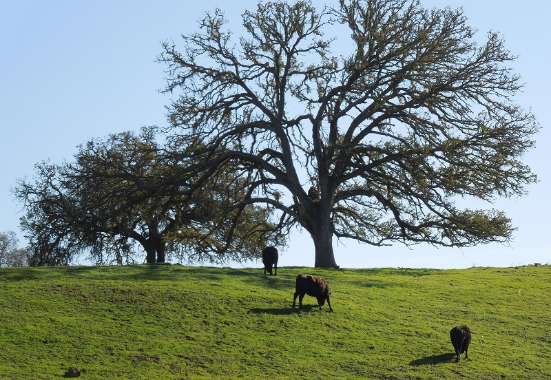 Paso Robles in Photos: Looking at Deciduous Oak Trees in Winter