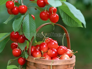 trai cherry ban o dau