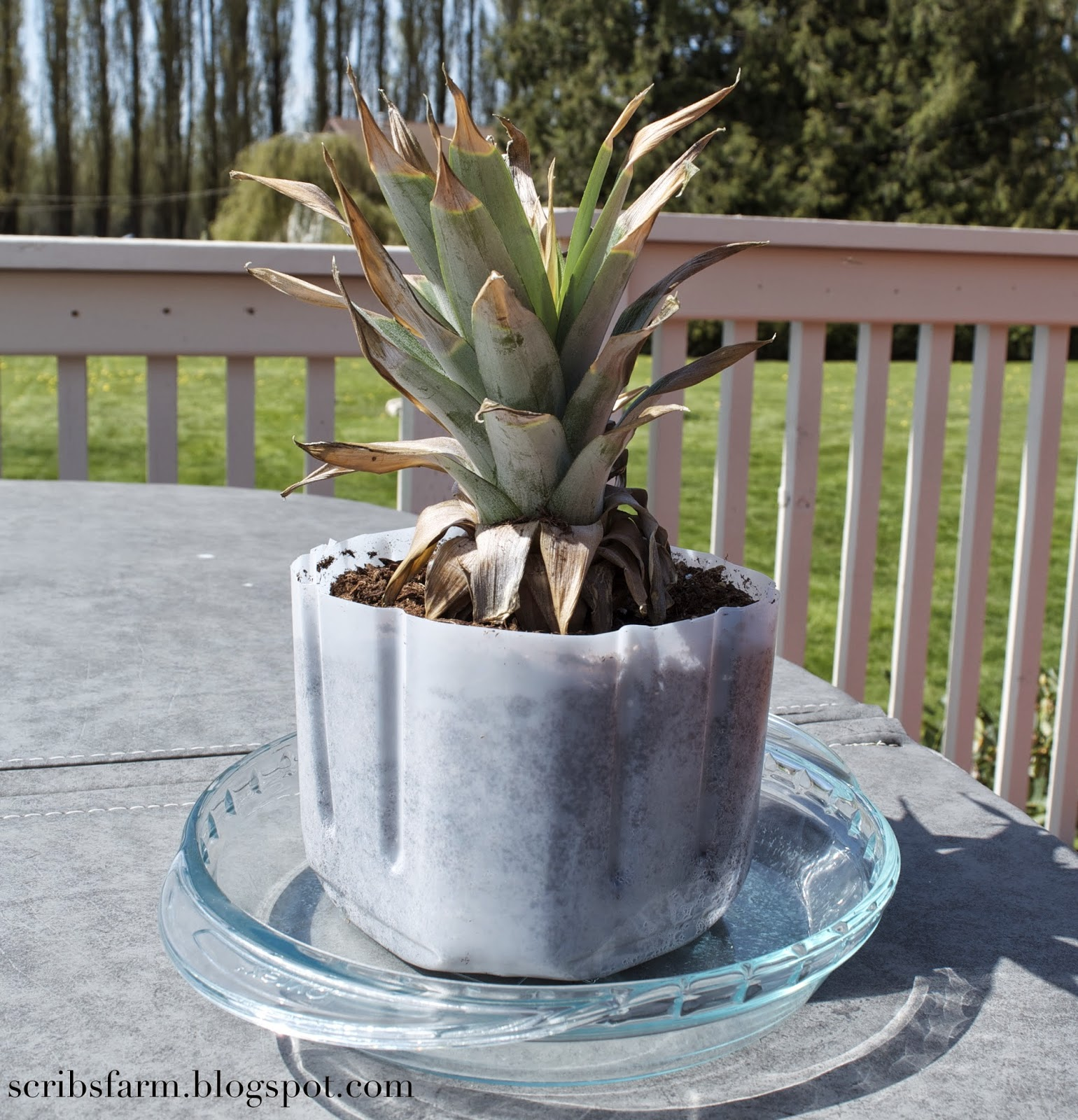 planted pineapple top