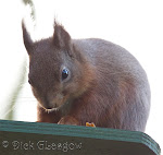Red Squirrels of Breen Oakwood