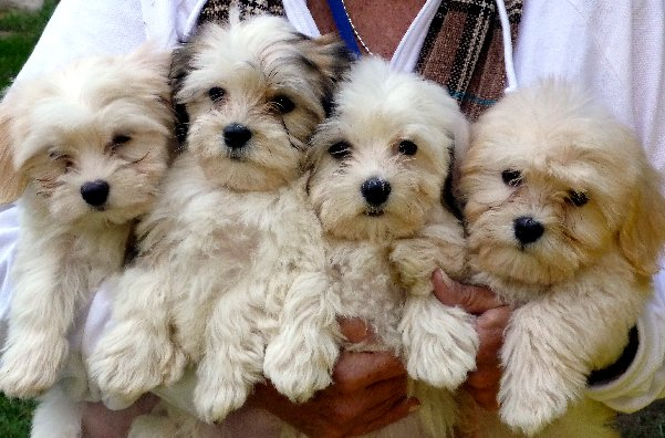 Non Allergenic Dog Breeds