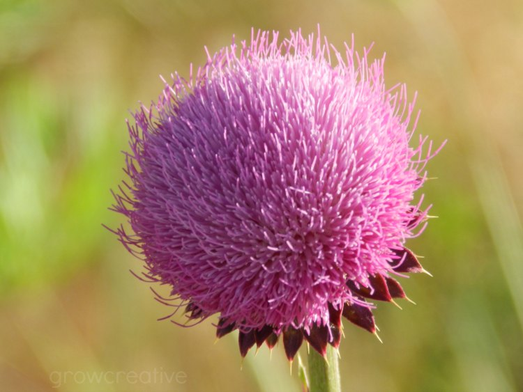Purple Pink Thistle Blossom