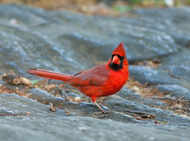 Northern Cardinal - Central Park, New York