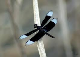 Black dragonfly.