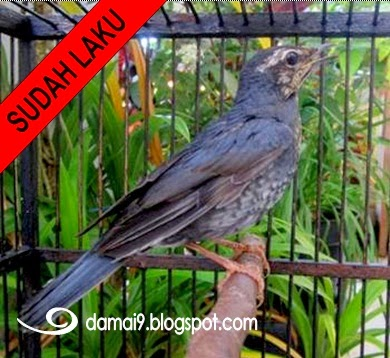 Dijual Burung Anis Batu Masih Muda Jakarta Selatan Cara Merawat