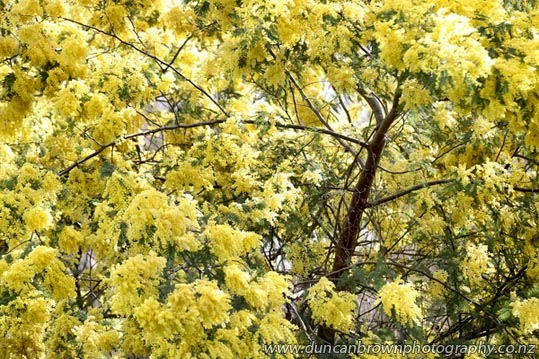 What a wattle! SH50, Tikokino photograph