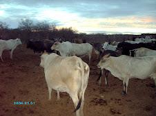 Vacas de Ordeño