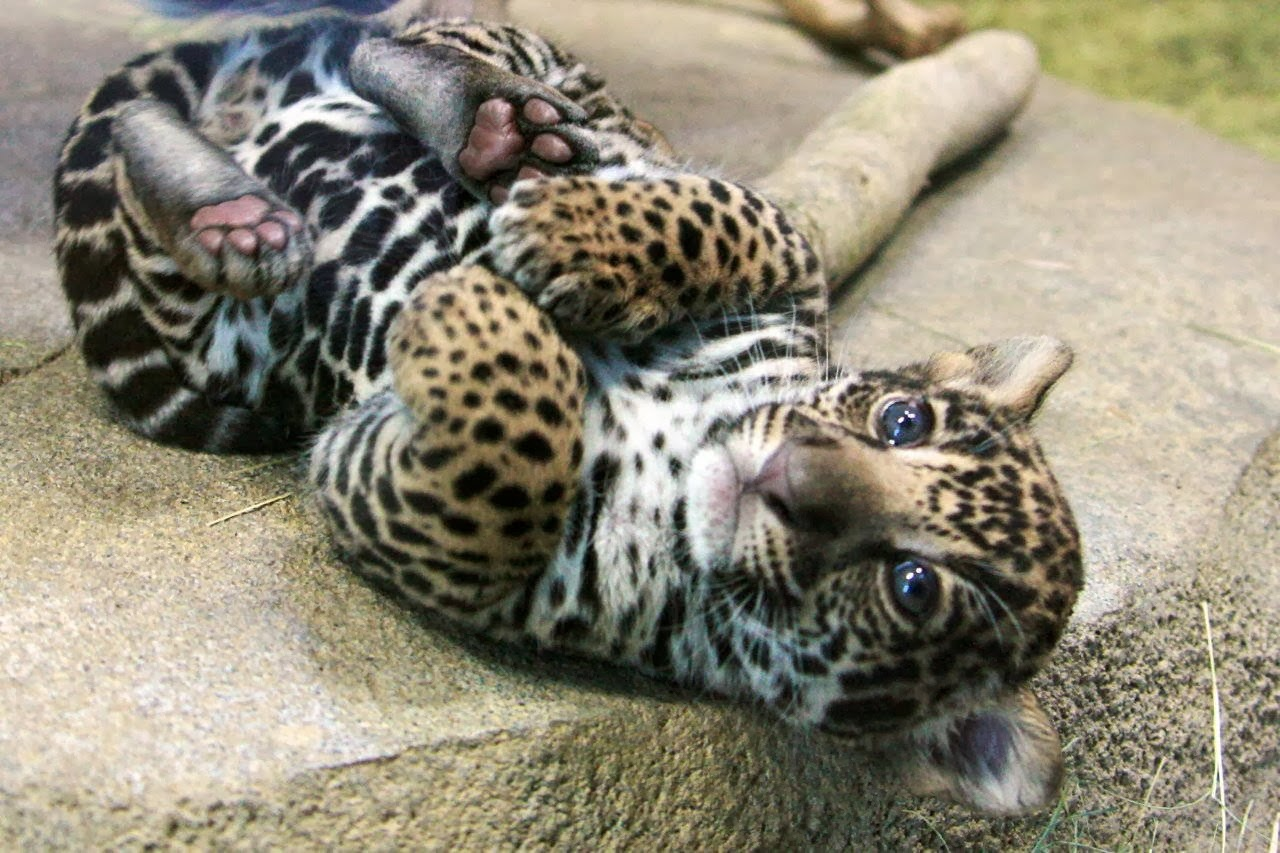 Funny animals of the week - 28 February 2014 (40 pics), cute baby jaguar picture