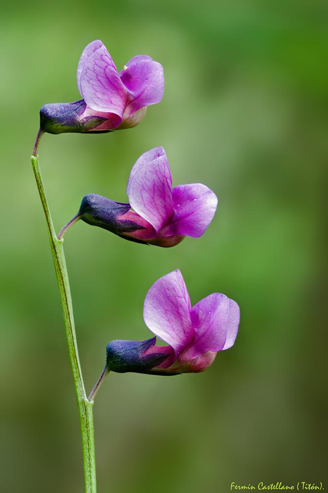 Flores de guisante silvestre