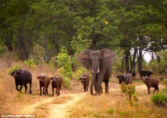 Gajah Di Zimbabwe Ini Mengira Dirinya Seekor Banteng Unik News