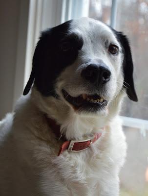 dog doing a Harrison Ford imitation