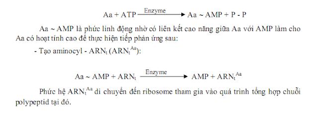 hoạt hóa axit amin