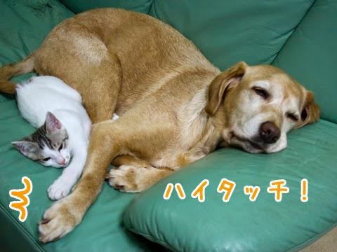 ラブラドールと子猫のお昼寝