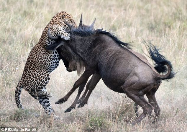Wildlife Photos: Wildebeest vs Leopard, Who win?