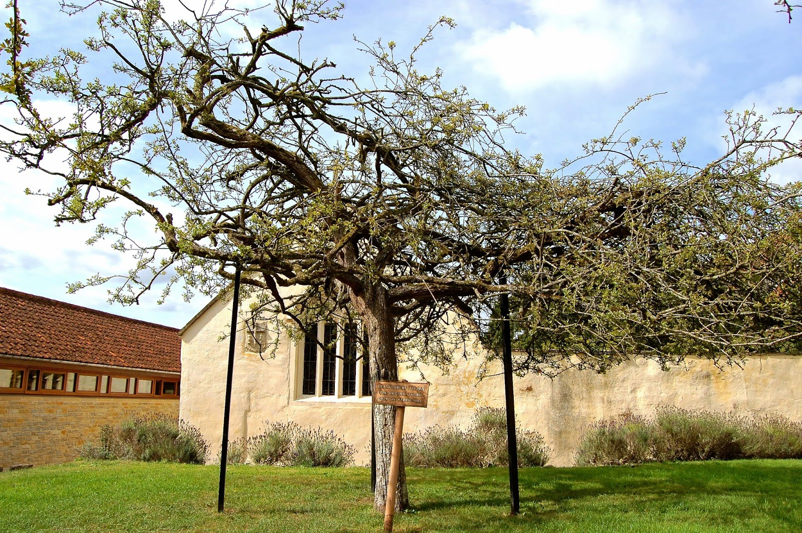 Glastonbury Thorn