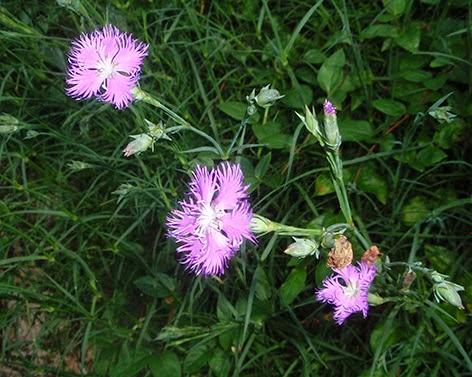 Clavel silvestre (Dianthus Hyssopifolius)