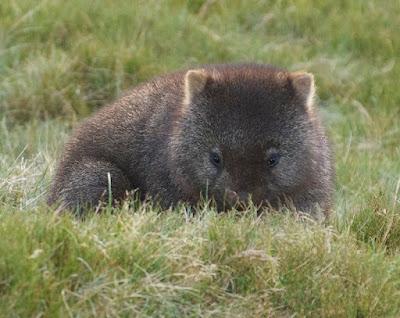 Common Wombat (Vombatus ursinus)
